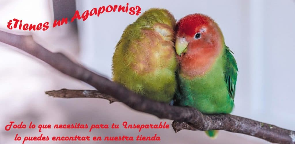 Banner Agapornis