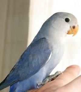 agapornis-roseicollis-azul