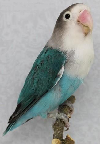 agaporni-fischer-azul