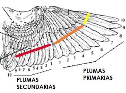 clasificacion-alas-agapornis